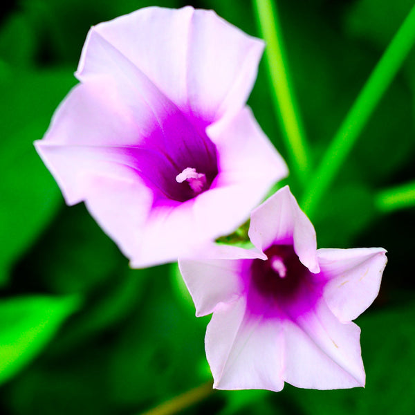 ipomoea flower meaning