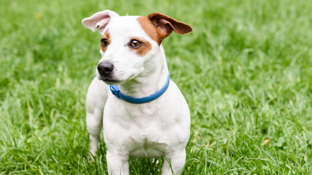 Most Asked Questions About Dog Collars - Wildog