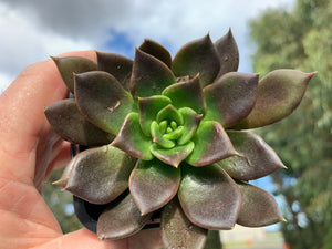 RARE BLACK PRINCE Echeveria - good size