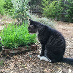 GARDEN HEROES™ Cat Grass Seed Packs (Approx. 6000 seeds)