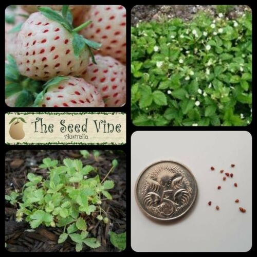 20+ Organic Sweet White Alpine Strawberry Seeds (Fragaria vesca)