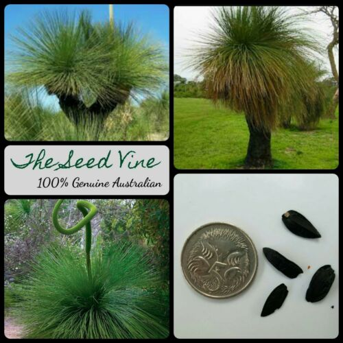20+ Black Boy Grass Seeds (Xanthorrhoea preissii)