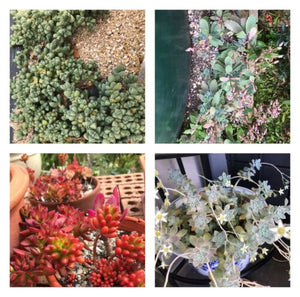types of succulents australia