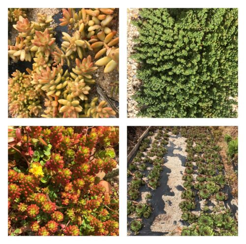 10 x Freshly Pruned Succulent Cuttings Starter Pack