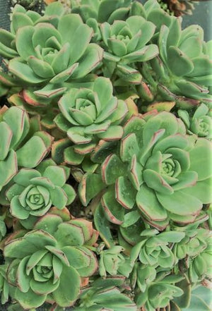 20 x Freshly Pruned Succulent Cuttings Pack (No Repeat Cuttings)