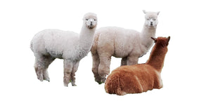 Gorgeous Alpacas