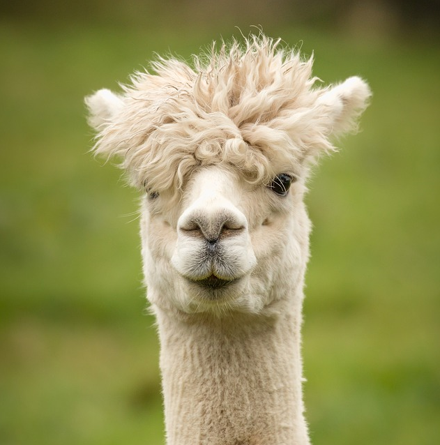 20 FUN FACTS ABOUT ALPACAS