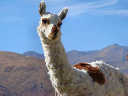 WHY THE ALPACA IS THE BEST FABRIC FOR BABY AND KIDS CLOTHING