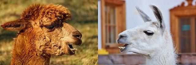 WHAT'S THE DIFFERENCE BETWEEN A LLAMA AND AN ALPACA?