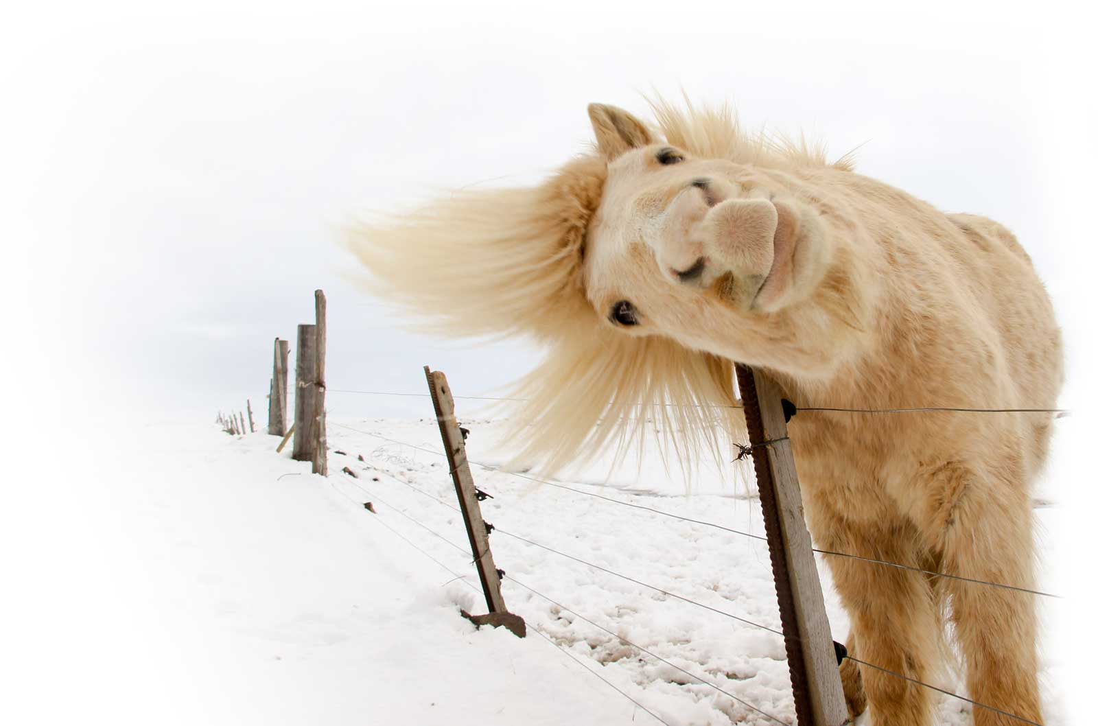 horse looking over fence in the snow