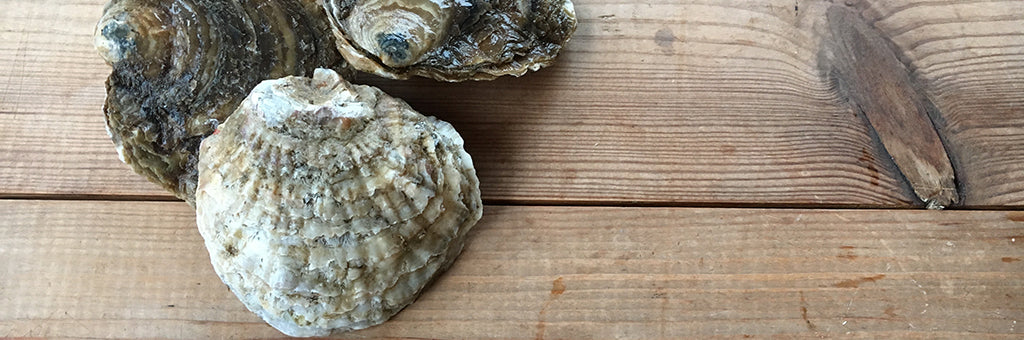 Native Oysters Are Back!