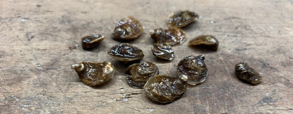 Let's Talk Native Oysters