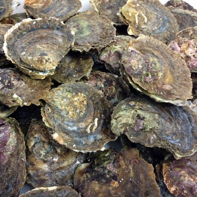 colchester native oysters
