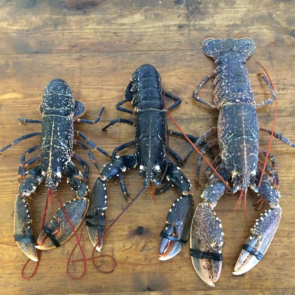 Live native lobsters showing the size difference for small, medium and large native lobsters
