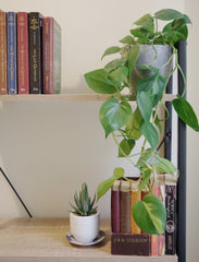 green heart-leaf philodendron trailing from book shelf.