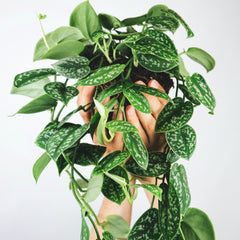 Satin pothos plant with several vines in a pot