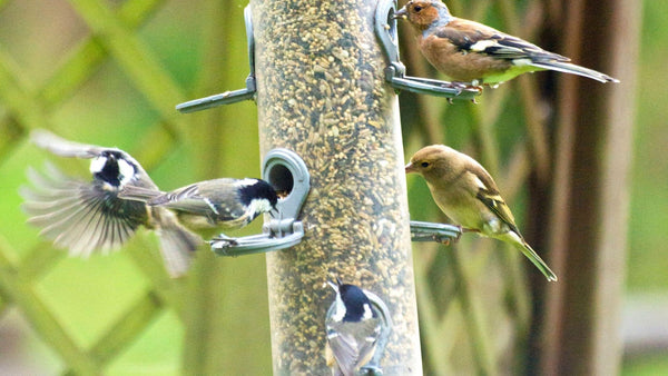 wild birds competing for food at the seed feeder