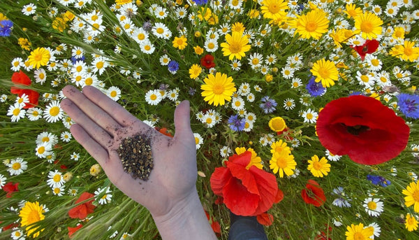 Wildflower seeds for sowing in autumn