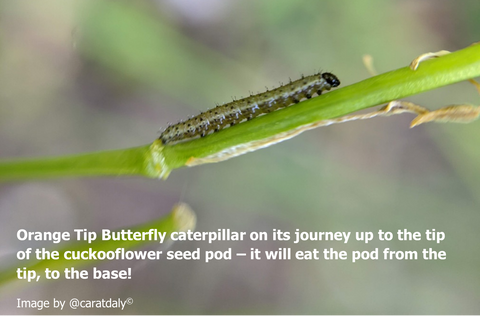 Orange Tip Butterfly caterpillar on its journey up to the tip of the cuckooflower seed pod – it will eat the pod from the tip, to the base!
