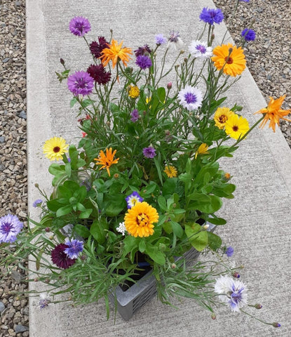 Blooming Native wildflower Seeds for Patio Pots and windo boxes