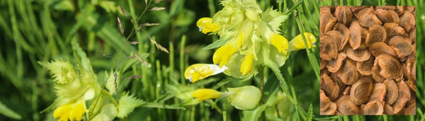 How to grow and use yellow rattle seed to reduce grass growth in my meadow