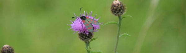 Common Knapweed with hoverfly