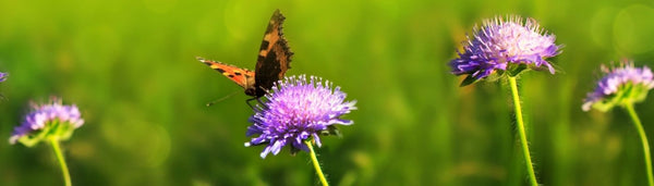 Small field scabious with butterfly