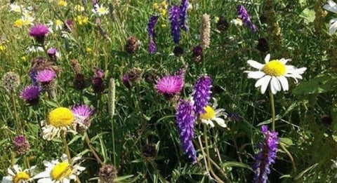 wildflowers for shaded areas blooming Native wildflower seeds