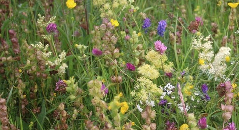 blooming Native wildflower seed local provenance to ireland