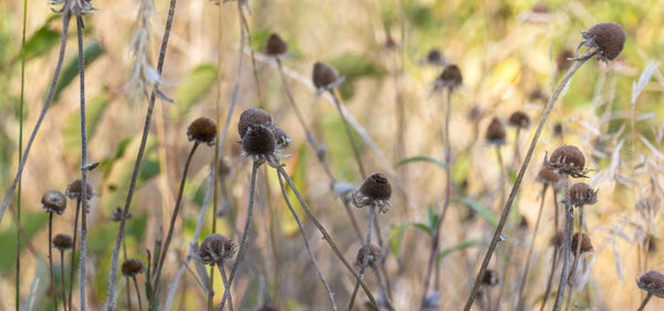 Dead, Dried Wildflowers - time to cut