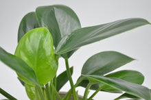 Lade das Bild in den Galerie-Viewer, Philodendron 'Imperial Green'