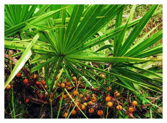 Saw Palmetto helping to reduce hair loss