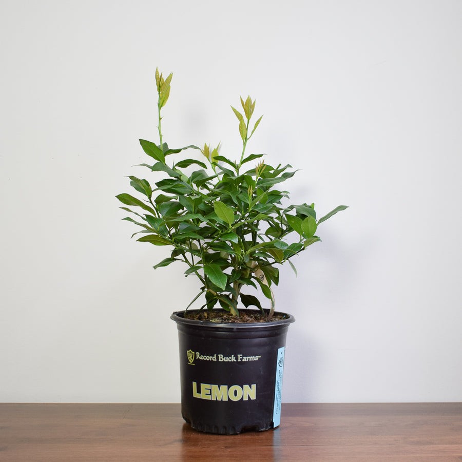Eureka Lemon Bush