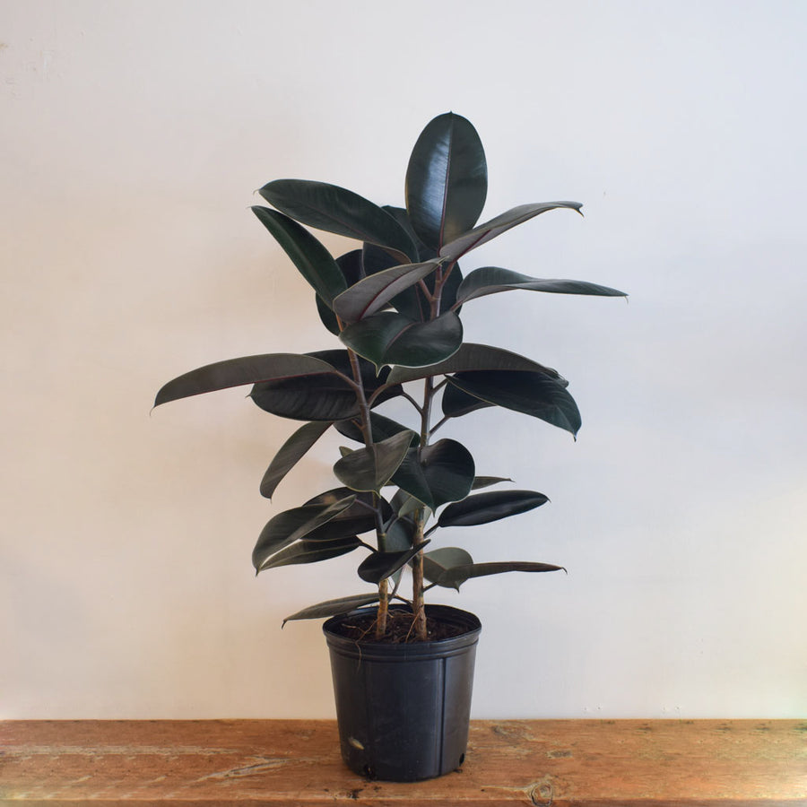 Fiddle Leaf Fig (Ficus Lyrata) Dwarf Bambino