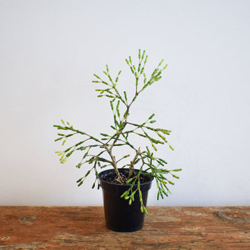 Variegated Peace Lily 'Domino' - Plant Society - Toronto