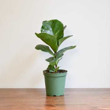 Fiddle Leaf Fig (Ficus Lyrata) Bush - Plant Society - Toronto
