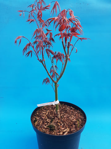 Acer palm blood good
