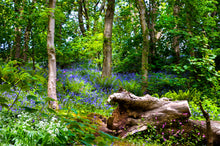 Load image into Gallery viewer, 'Bluebells at Wiseman's Bridge, Pembrokeshire'
