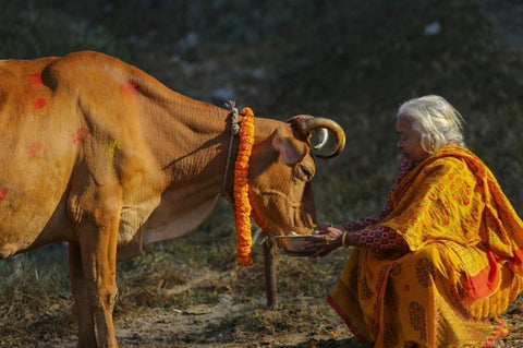 Cow is worshipped on third day of Tihar in Nepal