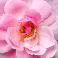Damascena_Rose Featured Ingredient - L'Occitane