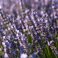 Lavender Featured Ingredient - L'Occitane