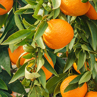 Orange Featured Ingredient - L'Occitane