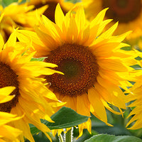 Sunflower Featured Ingredient - L'Occitane