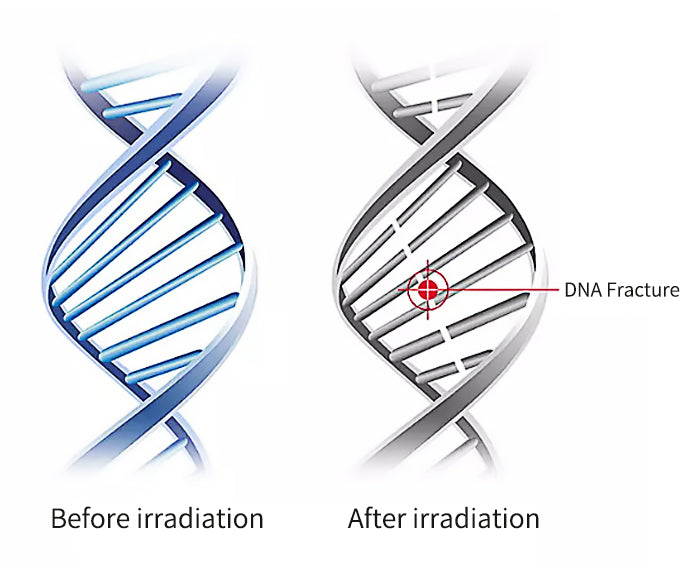 The process of DNA fracture in bacteria and mites caused by irradiation