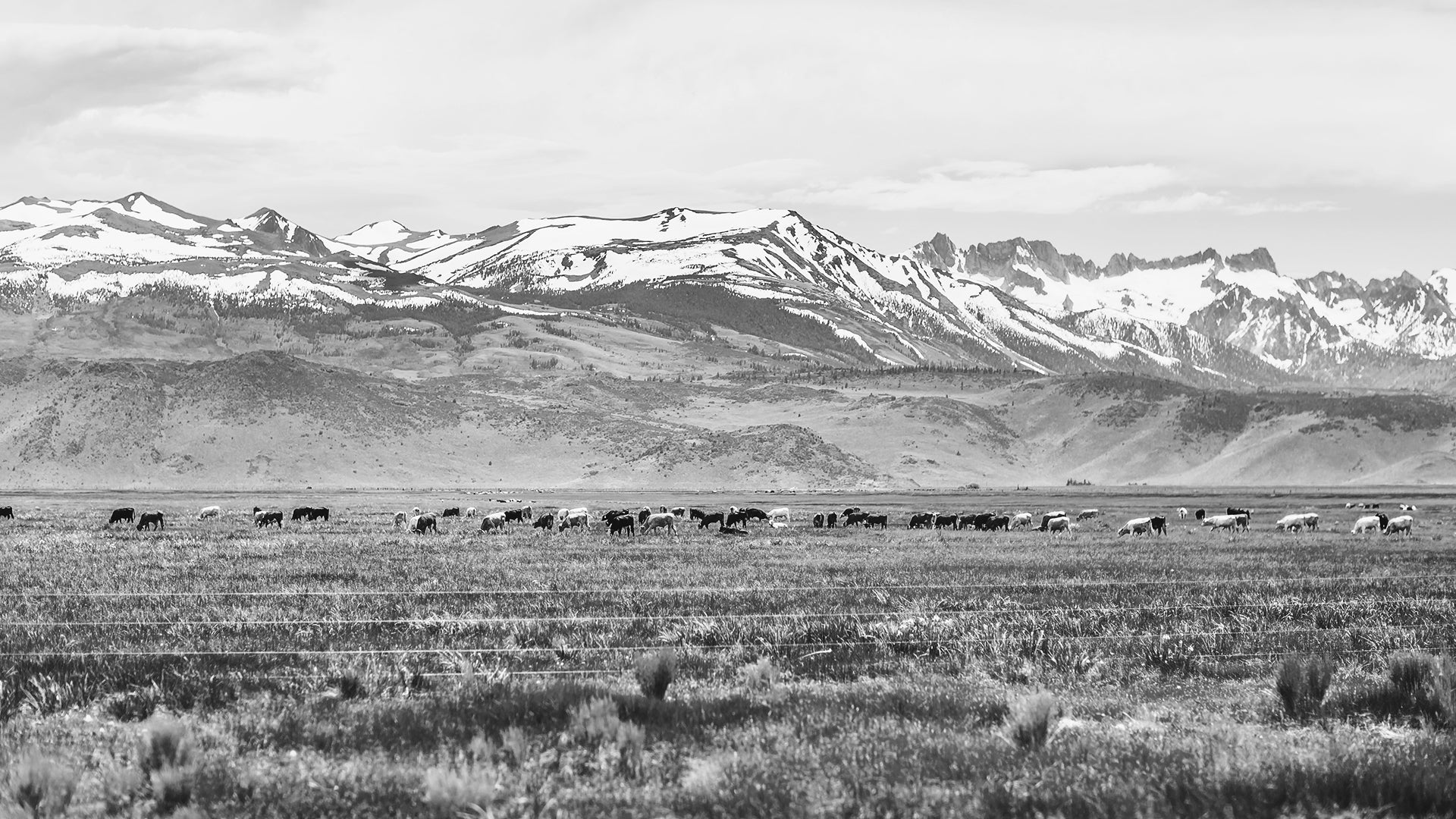 Cattle in the open fields of Wyoming