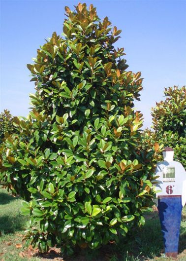 Green Giant Southern Magnolia