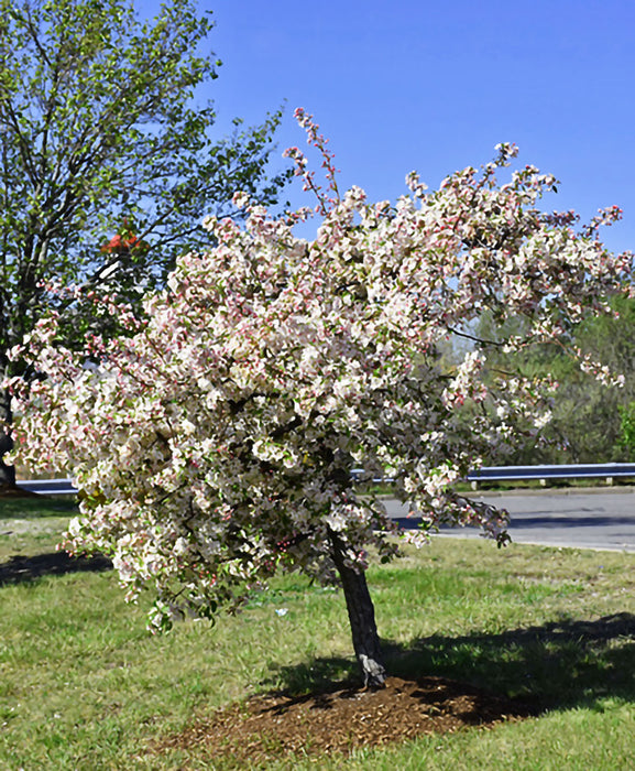 Candymint Crabapple