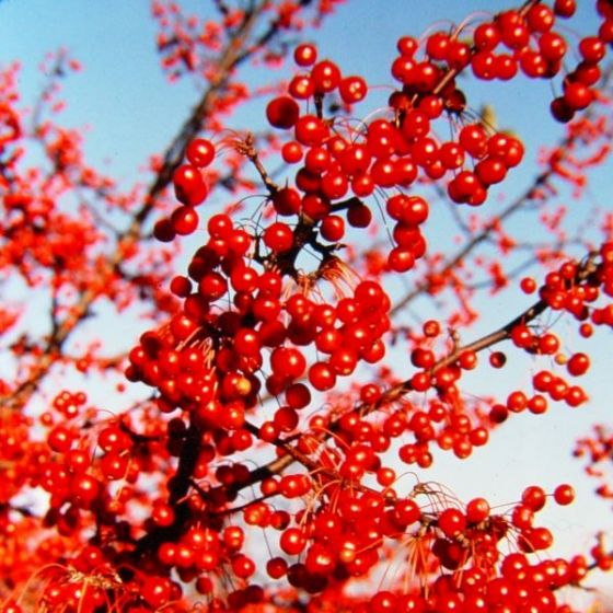 Red Jewel Crabapple