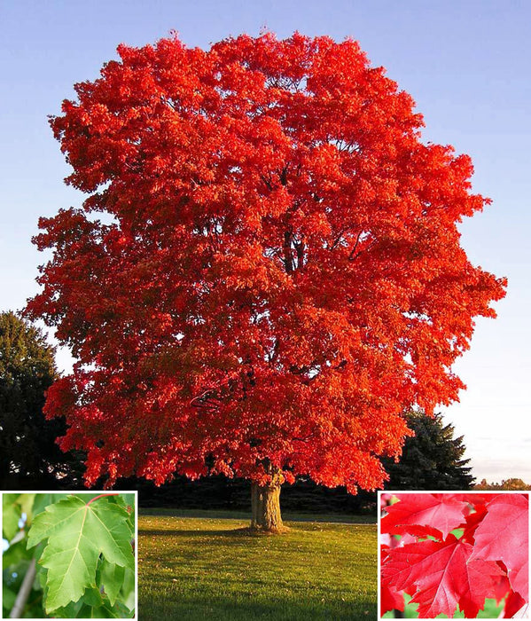 Red Sunset Maple