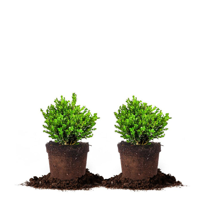 #1 Wintergreen Boxwood Shrub (2-Pack)